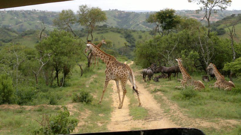 phezulu-safari-park (1)